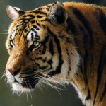 Indian Children Take a Stand for Tiger Conservation