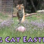 Big Cats and Big Easter Eggs