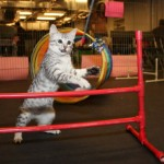 Cat Agility Competitions?