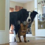 Home Alone, with Nana Border Collie & Kaiser Bengal Cat