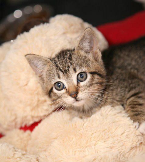 Joplin Humane Society Cats