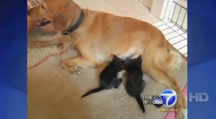 Golden Retriever Mom Adopts Abandoned Kittens