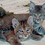 Humans Dress as Bobcat Mom to Help Abandoned Kittens
