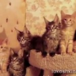 Maine Coon Kittens Follow the Conductor: Flight of the Bumblebee