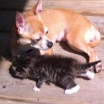 Chihuahua Makes a Kitten Her Pup