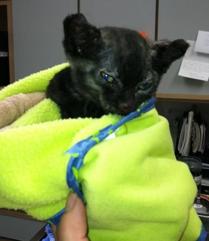 He Tried His Best: Spirit Burned Kitten Succumbs to Injuries