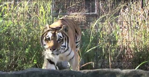 Texas Tigers Must Go…And You Can Help!