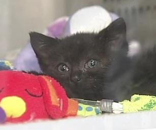 Tabitha's Story: Two Video Reports on the Injured Kitten Fighting for her Life