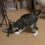 Kitten Playing with an Elastic Band