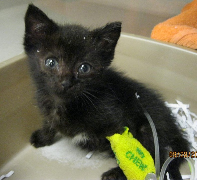 Amazing! Tabitha Kitten Out of Oxygen Chamber and Into Foster Home