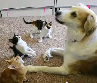 Sweet Dog Playing With Adorable Foster Kittens