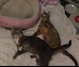 Cerebellar Hypoplasia Cats Playing