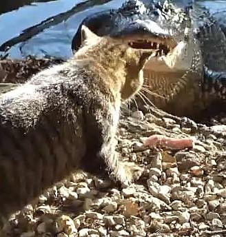 Cat vs Alligator