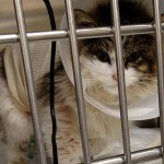 Ruby the kitten recovering after emergency surgery