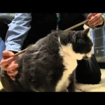 Fat Cat Walter is Adopted, and Ordered to Gain Before Losing