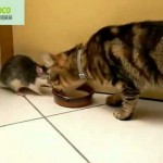 Cat And Rat And The Bowl Of Milk