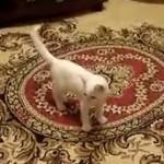 Kangaroo Kitten