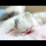Dancing Newborn Marshmallow Kitten