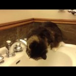 Cute Kitty Drinks From the Tap