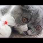Cute Cat Show #2: Kiyomori Plays