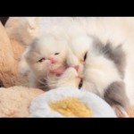 Marshmallow Kitten: Development at 3 Weeks Old