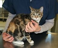 Bernadette; Burned Cat Dumped at the MSPCA is Recovered and Ready for a Home