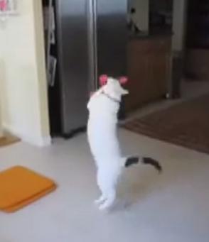 Boomerang Cat