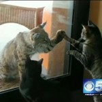 House Cat and Bobcat: Paw to Paw