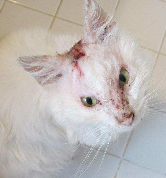 Fiv Positive Cat Rescue Michigan