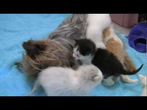 Motherless Kittens Adopted by Yorkie Who Lost Her Pups