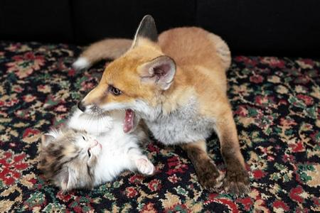 Blind Fox Kit Makes Friends With Three Kittens