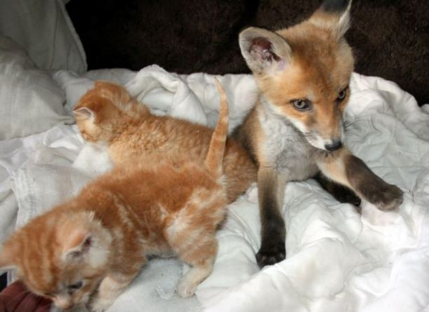 blind fox kit makes friends with three kittens life with