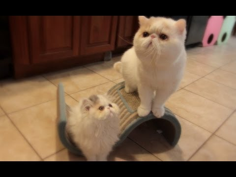 Cat Daddy Excited to Meet his Daughter Kitten Marshmallow