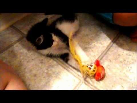 Anakin The Two Legged Kitten Playing With His Ball & Feather