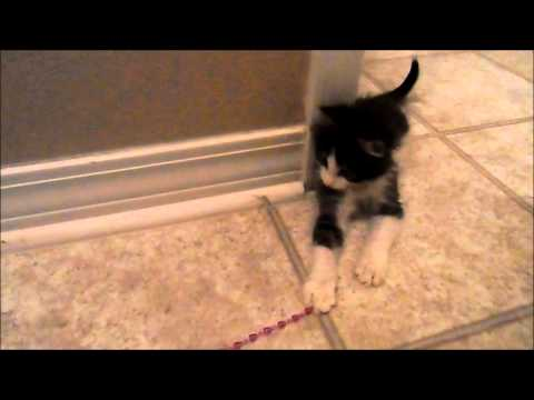 Anakin the Two Legged Kitten, Playing in the Hallway & Meeting Trixie