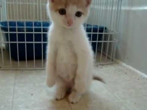 """I Are Meerkat"" Cute Kitten"
