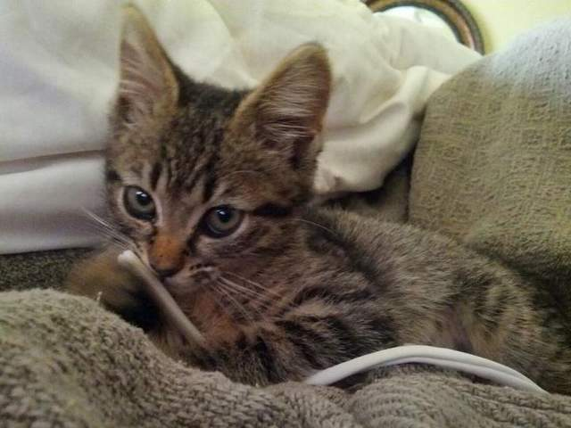 Amputee Kitten Gets a Home and a Mission as a Therapy Pet