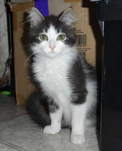 Anakin the Wonder Cat: Two Legged Kitten Continues to Amaze!