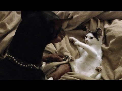 Kitten vs. Doberman… in Bed