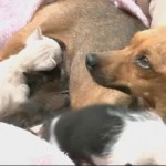 Rescued Chihuahua Adopts Motherless Kittens