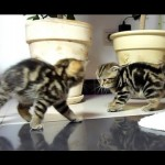 Funny Dancing Fighting Kittens
