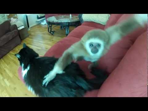 Chuck and APEril: Patient Cat and Young Gibbon Ape