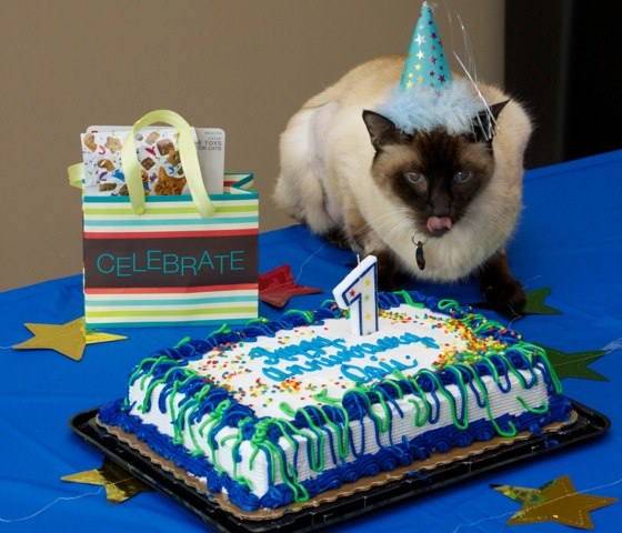 Opie the Cat Celebrates Kidney Transplant a Year Later