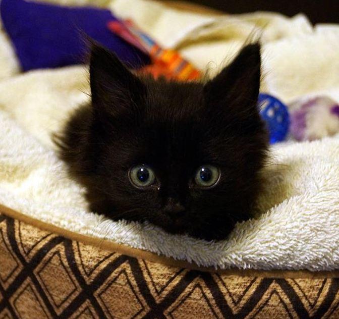 Lincoln: Qadrapelegic Kitten Learns to Walk