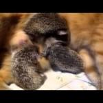 Mama Cat Adopts Hedgehog Babies