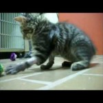 Phoenix Burned Kitten Playing Without Bandages for the First Time