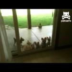 Cat Opens Door for Puppies