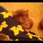Kitten Falling Asleep