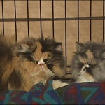 Embattled Persian Breeder Agrees to Surrender Cats