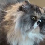Persian Breeder Charged for Trying to Drown Cats: Advocates Mount Campaign